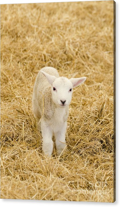 Lamb Acrylic Print featuring the photograph Spring Lamb by Steev Stamford
