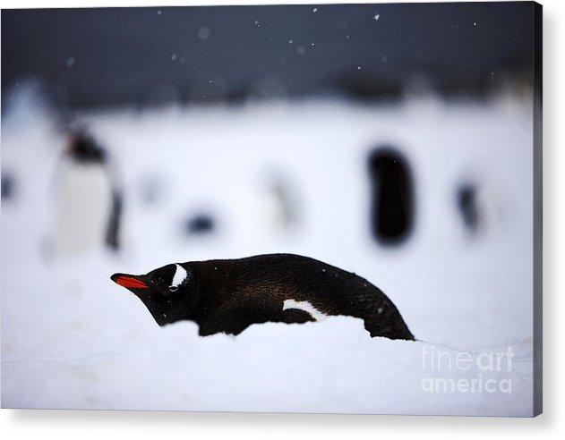 Antarctic Acrylic Print featuring the photograph Joe Fox Fine Art - Gentoo Penguin Pygoscelis Papua Lying In The Snow Cuverville Island Antarctica by Joe Fox