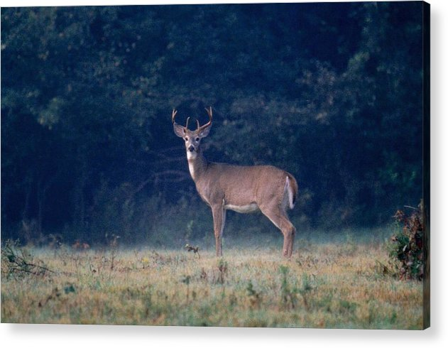 Deer Acrylic Print featuring the photograph 072106-25 by Mike Davis