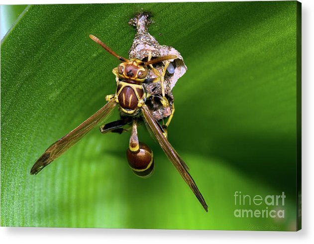 Wasp With Egg Acrylic Print featuring the photograph Wasp With Egg by Warren Sarle