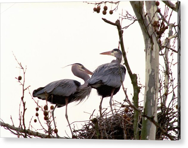 Great Blue Heron Acrylic Print featuring the photograph 070406-96 by Mike Davis