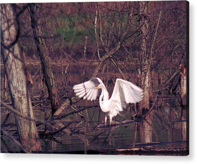 Egret Acrylic Print featuring the photograph 070406-22 by Mike Davis
