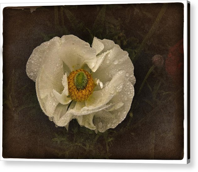 White Poppy Acrylic Print featuring the photograph Vintage White Poppy by Richard Cummings