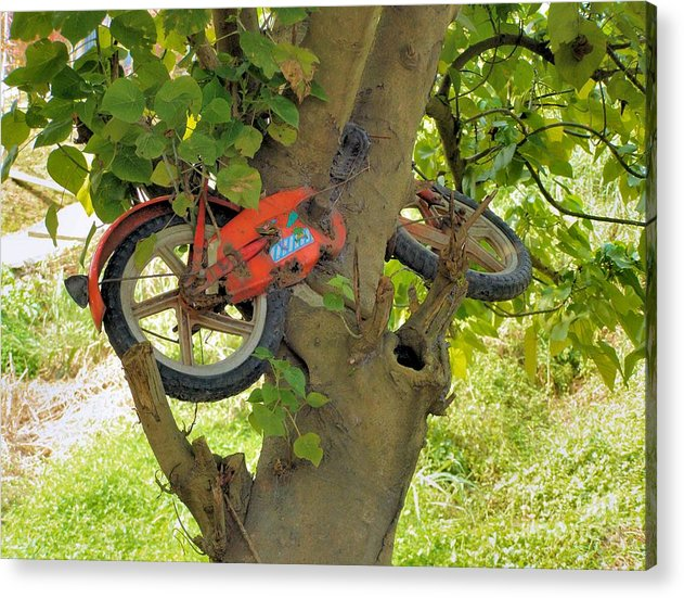Odd Acrylic Print featuring the photograph A Bike Growing In A Tree by Kathy Daxon