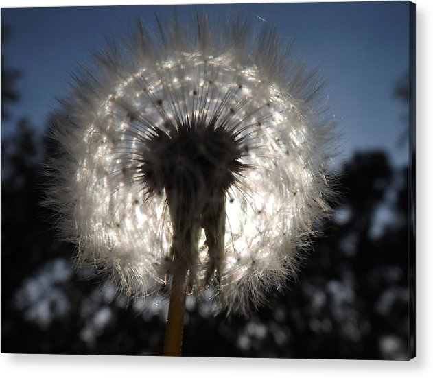 Acrylic Print featuring the photograph Looking Through A Dandelion by Rebecca Cearley