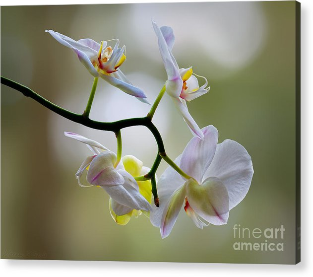 Orchid Acrylic Print featuring the photograph Orchid C by Warren Sarle