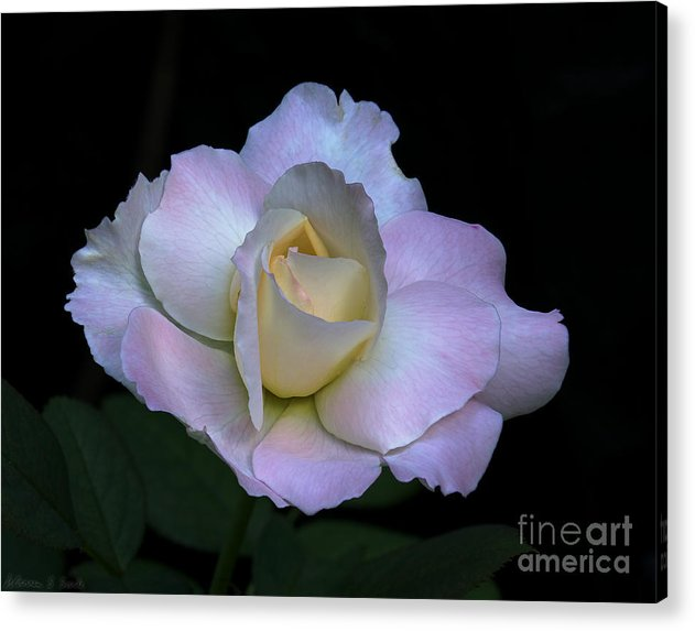 Rose Acrylic Print featuring the photograph Laurie's Rose by Warren Sarle
