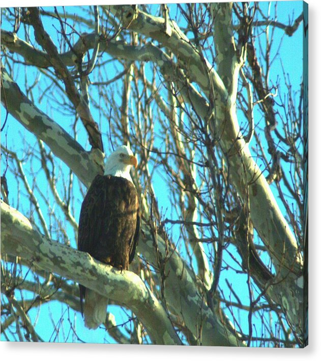 Eagle Acrylic Print featuring the photograph 020609-73 by Mike Davis