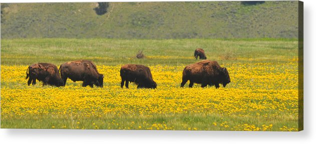 Bison Heard Acrylic Print featuring the photograph Bison Herd by Alan Lenk