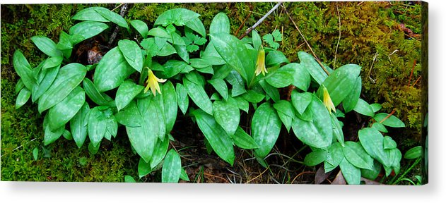 Trout Lily Acrylic Print featuring the photograph Trout Lily Panorama by Alan Lenk