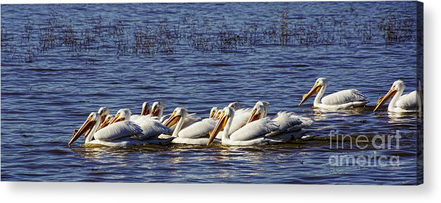 Diana Cox Acrylic Print featuring the photograph Raft Of Pelicans by Diana Cox