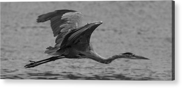 Great Blue Heron Acrylic Print featuring the photograph Great Blue Heron by Christopher Kulfan