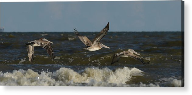 Brown Pelican Acrylic Print featuring the photograph Brown Pelicans In Flight by Ruth Burke