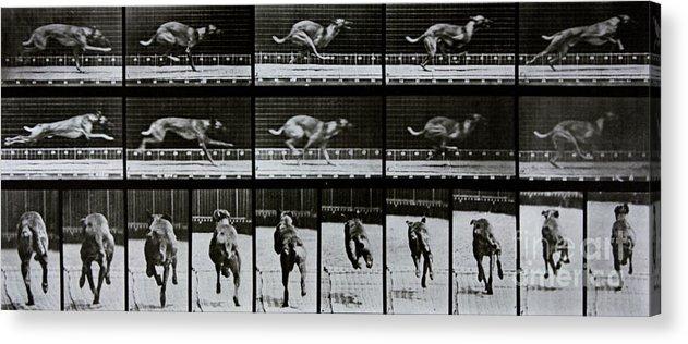 Muybridge Acrylic Print featuring the photograph Greyhound Running by Eadweard Muybridge
