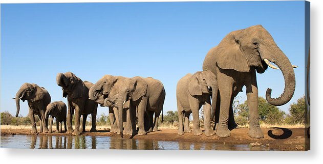 African Elephant Acrylic Print featuring the photograph Thirsty Elephant Herd by Max Waugh