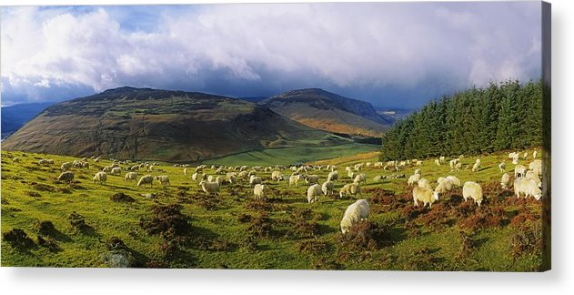 Co Wicklow Acrylic Print featuring the photograph Flock Of Sheep Grazing In A Field by The Irish Image Collection