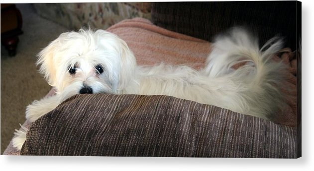 Maltese Dog Acrylic Print featuring the pyrography Boo by BJ Redmond