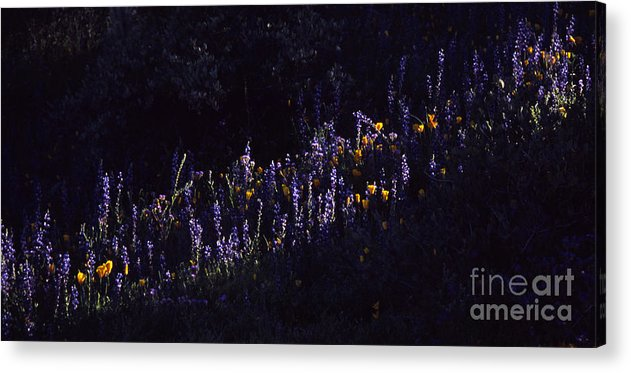 Lupine Acrylic Print featuring the photograph A Streak Of Nature by Randy Oberg