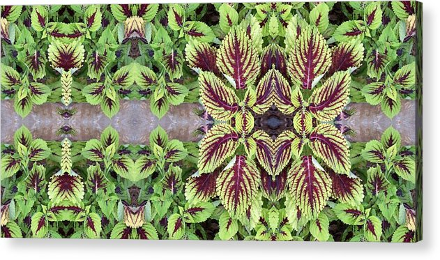 Green Acrylic Print featuring the photograph Coleus by Keri Renee