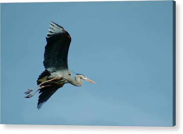 Great Blue Heron Acrylic Print featuring the photograph 040210-46 by Mike Davis