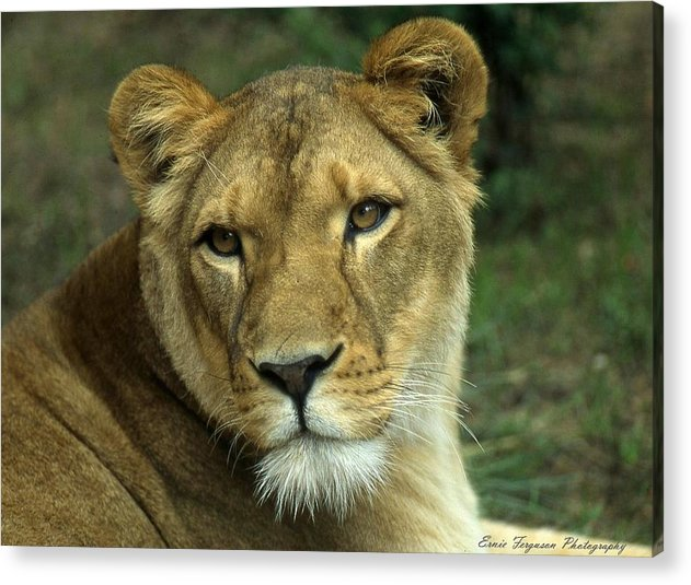 Animals Acrylic Print featuring the photograph Big Momma by Ernie Ferguson