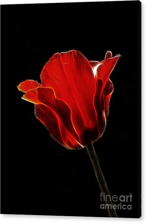 Flower Acrylic Print featuring the photograph Red Fractal Tulip by Steev Stamford