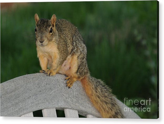 Squirrel Acrylic Print featuring the photograph Squirrel by Patrick Short