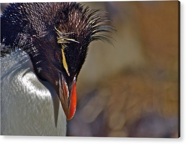 Antarctica Acrylic Print featuring the photograph Rockhopper by Suzanne Smith