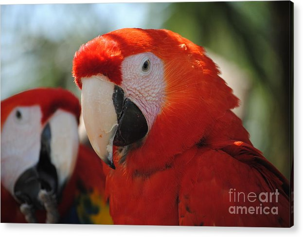 Parrot Acrylic Print featuring the photograph Parrots by Joep Egmond