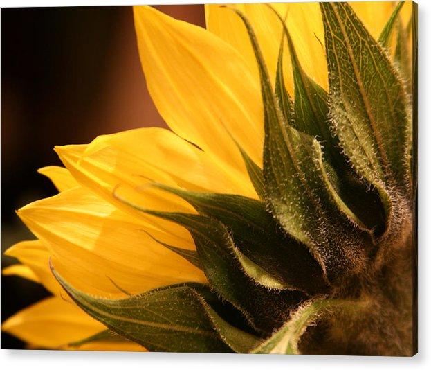 Sunflower Acrylic Print featuring the photograph Sunflower by Sally Engdahl