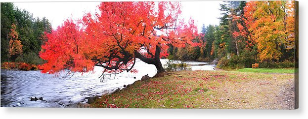 Light Acrylic Print featuring the photograph Panorama Of Red Maple Tree, Muskoka by Henry Lin
