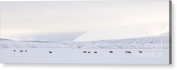 Barren Ground Caribou; Lake; Mountain; Tundra; Winter Acrylic Print featuring the photograph Caribou On A Frozen Lake by Tim Grams