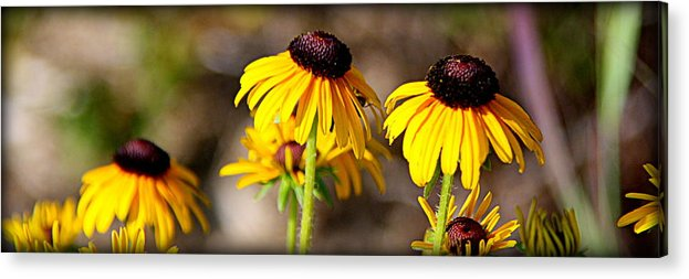Nature Photographs Acrylic Print featuring the photograph Black Eyed Susans by Tam Graff
