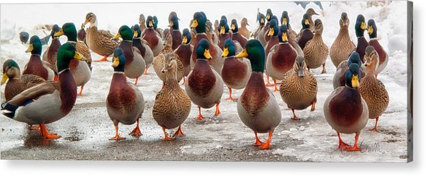 Ducks Acrylic Print featuring the photograph Duckorama by Bob Orsillo