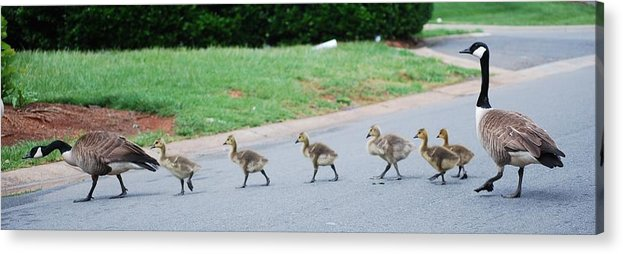 Canada Geese Acrylic Print featuring the photograph Family Outing by Trudi Southerland
