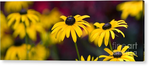 Rudbeckia Fulgida Acrylic Print featuring the photograph Late Summer Rudbeckia by Tim Gainey