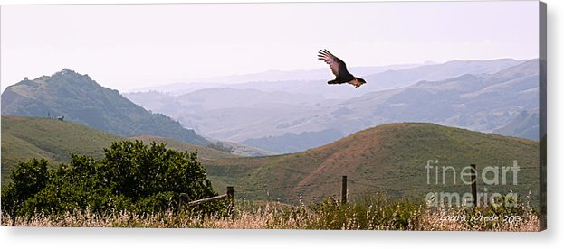 Paso Robles Acrylic Print featuring the photograph Soaring Over California - Condor In Morro Bay Coastal Hills by Artist and Photographer Laura Wrede