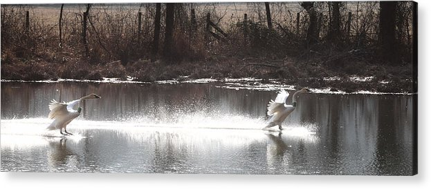 Trumpeter Swans Acrylic Print featuring the photograph Landing Trumpeter Swans by Michael Dougherty