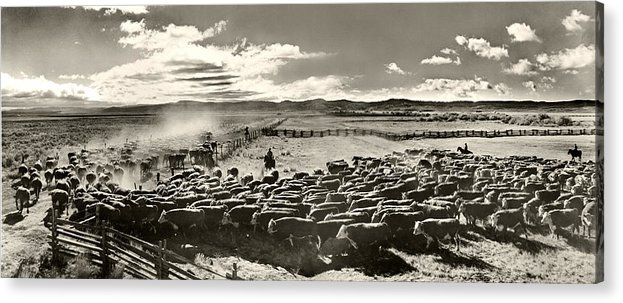 Cattle Acrylic Print featuring the photograph Cattle Drive by Unknown