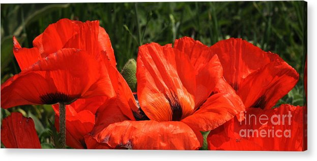 Poppies Acrylic Print featuring the photograph Poppies by Patrick Short