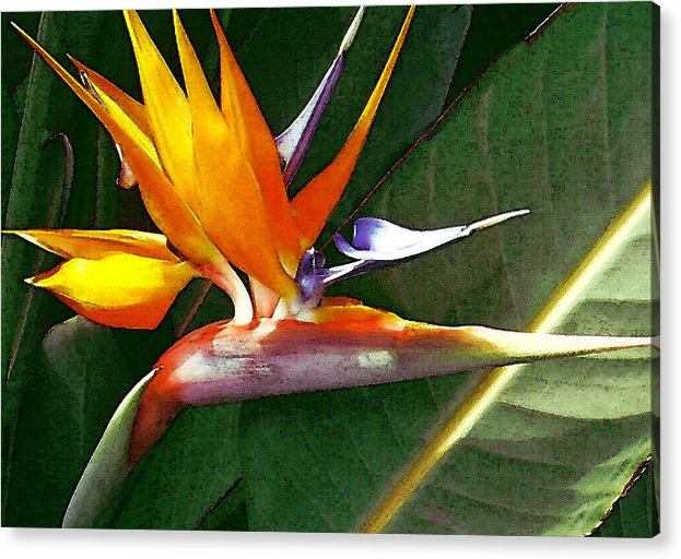 Bird Of Paradise Acrylic Print featuring the photograph Crane Flower by James Temple
