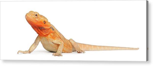 Belgium Acrylic Print featuring the photograph Silkbacks Scaleless Bearded Dragon by Life On White