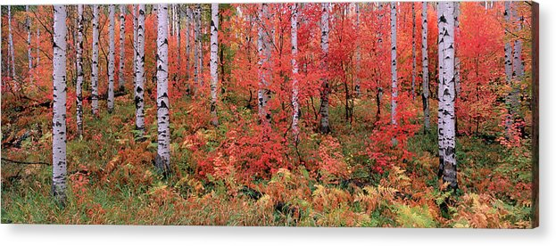 Panoramic Acrylic Print featuring the photograph The Wasatch Mountain Forest Of Maple by Mint Images - David Schultz