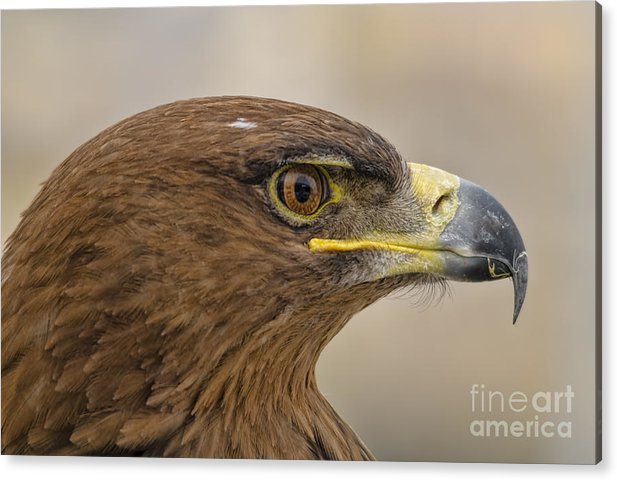 Eagle Acrylic Print featuring the photograph Tawny Eagle 3 by Steev Stamford