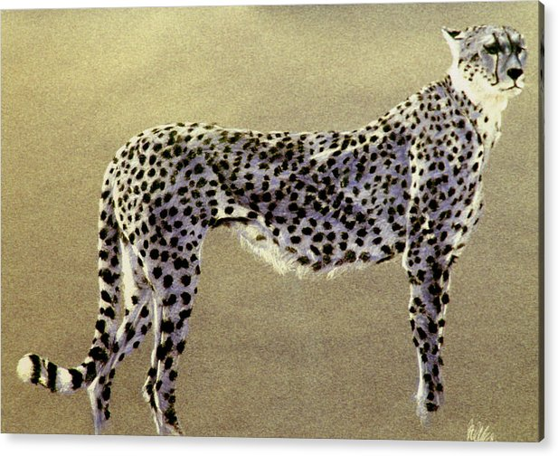 Wildlife Acrylic Print featuring the drawing Cheetah by Paul Miller