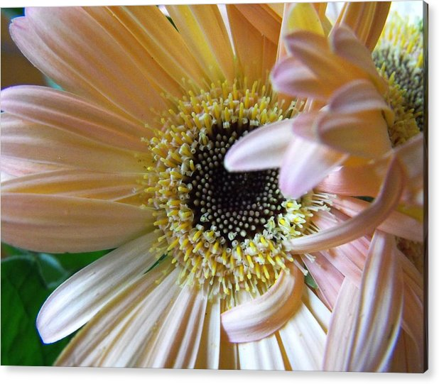 Gerbera Acrylic Print featuring the photograph Pretty In Pink by Carolynn Hyde