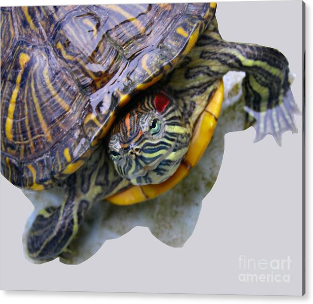 Turtle Acrylic Print featuring the photograph Red Ear by Kathy Daxon