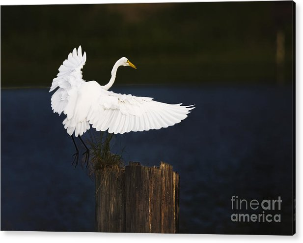Egrit Acrylic Print featuring the photograph Ready to Roost by Cecil Fuselier