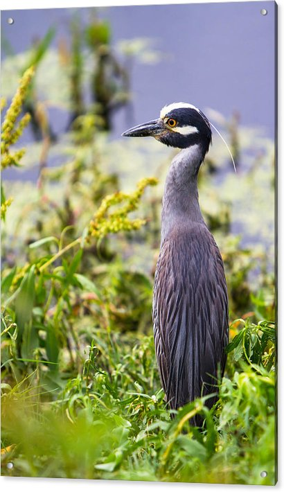 A portrait of a Yellow-Crowned Night Heron by Ellie Teramoto