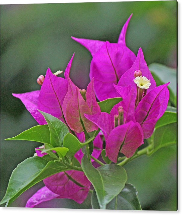 Beautiful bougainvillea by Becky Lodes